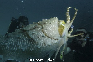 A cuttlefish attacking a diver. Or at least it looks like... by Benny Frick 